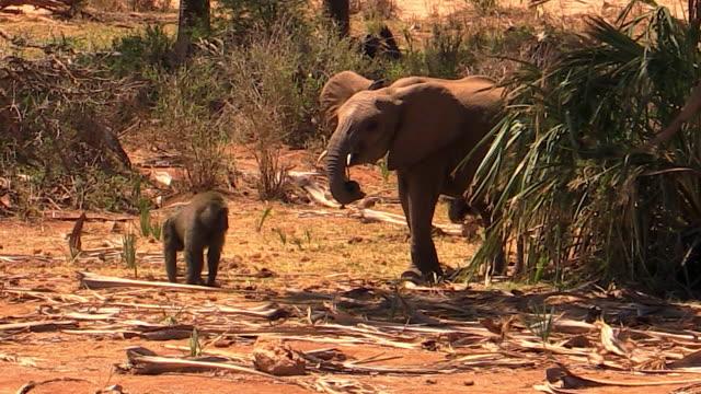 elephants, young, chasing baboon, samburu national reserve, kenya - small group of animals stock videos & royalty-free footage