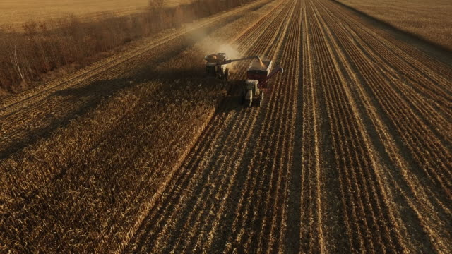 Elevated view of combine harvesting ripe GMO corn (maize).