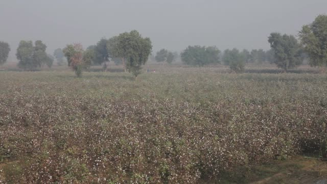 elevated view of cotton fields on a farm in pilibanga, rajasthan, india, on wednessday, nov 5 a worker carries a bundle of harvested cotton on her... - agrarland stock-videos und b-roll-filmmaterial