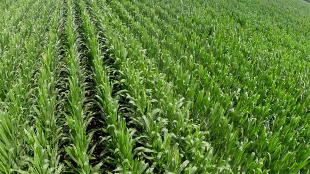 vídeos de stock e filmes b-roll de elevated view of genetically modified corn ripening in field - modificação genética