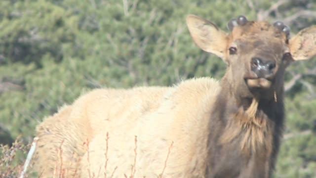vídeos y material grabado en eventos de stock de elk at rocky mountain national park in colorado on april 2 2015 - alce