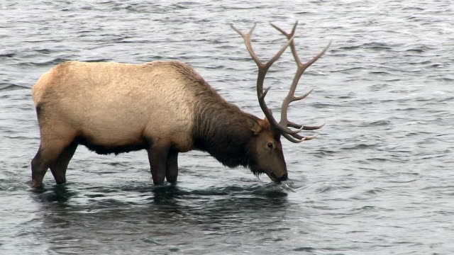 elk bull, pulls grass up out of river and eats, yellowstone national park, wyoming, in winter - deer stock videos & royalty-free footage