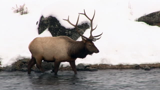 elk bull, walking in river, yellowstone national park, wyoming, in winter - rothirsch stock-videos und b-roll-filmmaterial