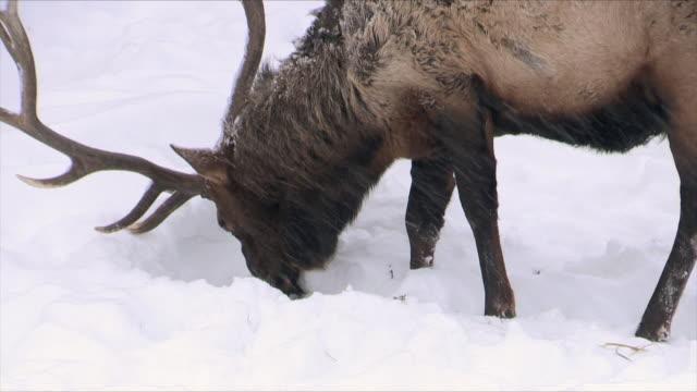 stockvideo's en b-roll-footage met elk bull with big heavy rack, grazing on grass, yellowstone national park, wyoming, in winter - foerageren