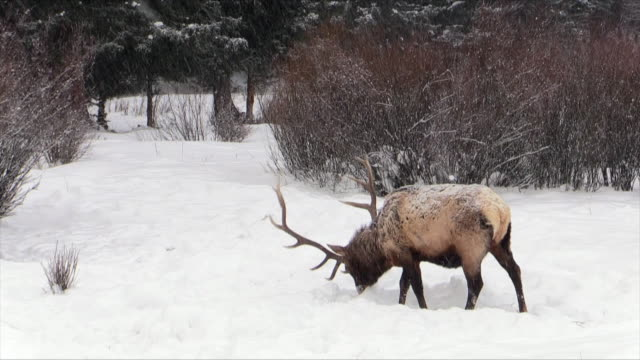 Elk bull with big heavy rack, grazing on grass, Yellowstone National Park, Wyoming, in winter