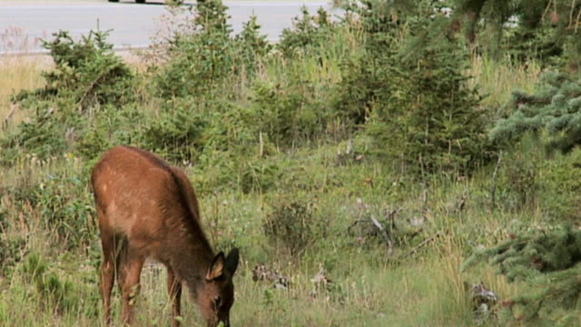 stockvideo's en b-roll-footage met ms elk (cervus canadensis) calf, road in background, jasper national park, alberta, canada - jasper national park