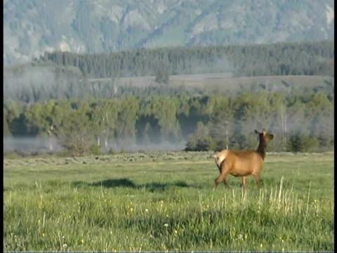 zo, ms, elk cow in field at teton mountains, grand teton national park, wyoming, usa - grand teton nationalpark stock-videos und b-roll-filmmaterial