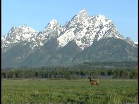 ms, elk cow in field at teton mountains, grand teton national park, wyoming, usa - grand teton national park stock videos & royalty-free footage