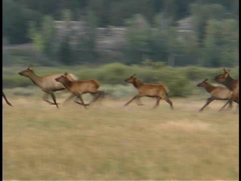 MS, PAN, Elk cows with calves running through field, Grand Teton National Park, Wyoming, USA
