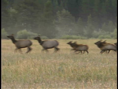 ms, pan, elk cows with calves running through field, grand teton national park, wyoming, usa - grand teton national park stock videos & royalty-free footage