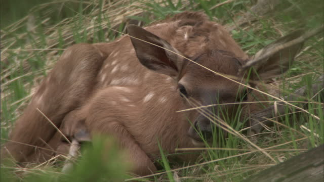 stockvideo's en b-roll-footage met elk (cervus canadensis) fawn lies in undergrowth, yellowstone, usa - reekalf