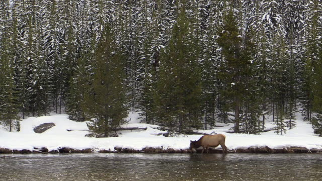 Elk female, grazing on grass at river's edge, Yellowstone National Park, Wyoming, in winter