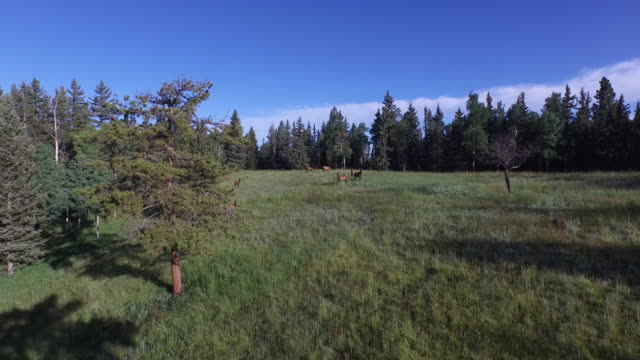 elk fly up - 4k drone tracking aerial view wildlife herd hunting, deer, elk, bison, hawk, buck, cows, bird, buffalo, directors choice, editors choice, magic hour, sun flare, grassland, epic - bird hunting stock videos & royalty-free footage