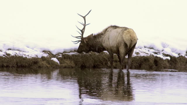 elk grazing along madison river, yellowstone national park, wyoming - river yellowstone stock videos and b-roll footage