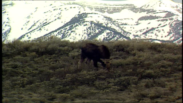 elk grazing in field wih rocky mountains in background - hooved animal stock videos and b-roll footage