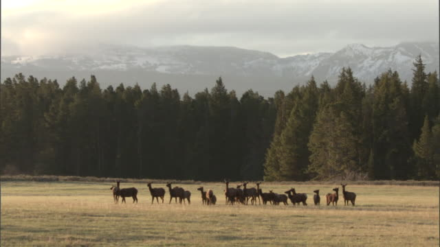 Elk (Cervus canadensis) herd grazes in meadow, Yellowstone, USA