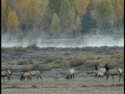 zo, ws, elk herd in field at teton mountains, grand teton national park, wyoming, usa - grand teton nationalpark stock-videos und b-roll-filmmaterial