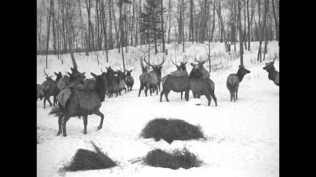 ms elk herd in snow / aerial herd runs through deep snow in clearing / ms herd grazes in snowy woods / note exact day not known - yellowstone national park stock videos & royalty-free footage