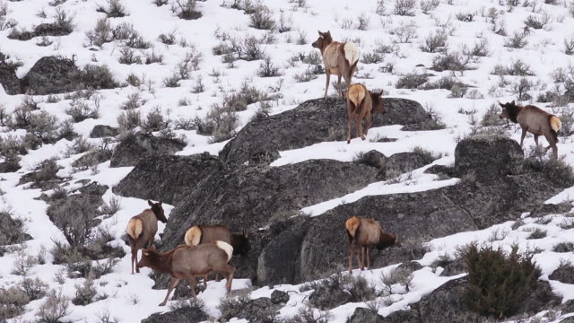 Elk herd on rocky hillside, Yellowstone National Park, Wyoming