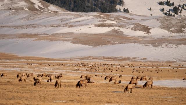 vídeos de stock e filmes b-roll de elk herd - pastar