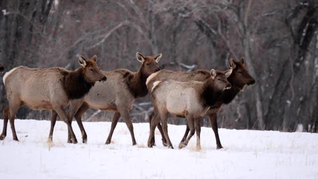 vídeos y material grabado en eventos de stock de elk red - montana