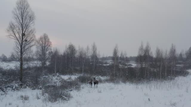 elk (moose) in chernobyl zone - elk stock videos & royalty-free footage