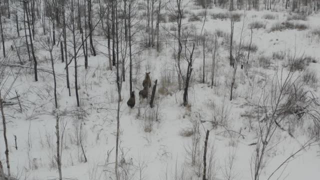 elk (moose) in chernobyl zone - old ruin stock videos & royalty-free footage