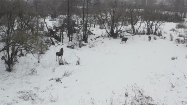 チェルノブイリゾーンのエルク(ムース) - ヘラジカ点の映像素材/bロール