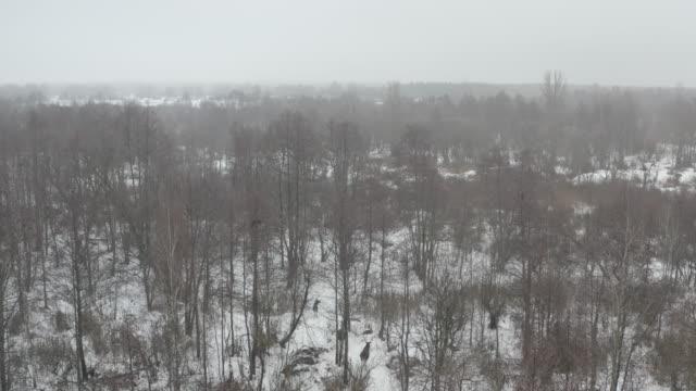 vidéos et rushes de wapiti (orignal) dans la zone de tchernobyl - radiation