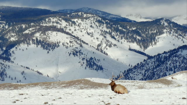 Elk lying in snow with mountains behind, big scenic, Yellowstone National Park, Wyoming, in winter