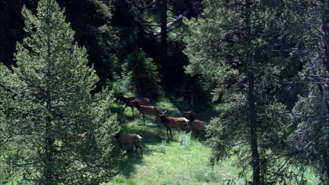 vídeos de stock e filmes b-roll de elk moving in the trees  - aerial view - wyoming,  teton county,  helicopter filming,  aerial video,  cineflex,  establishing shot,  united states - parque nacional de yellowstone