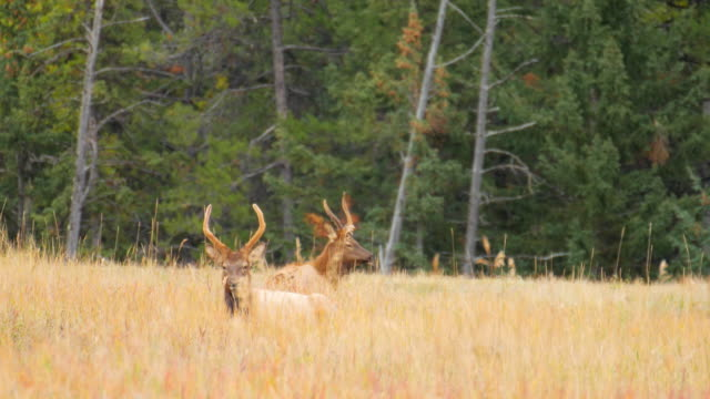 elk on mountain meadow in canada , rocky mountain - harmony stock videos & royalty-free footage