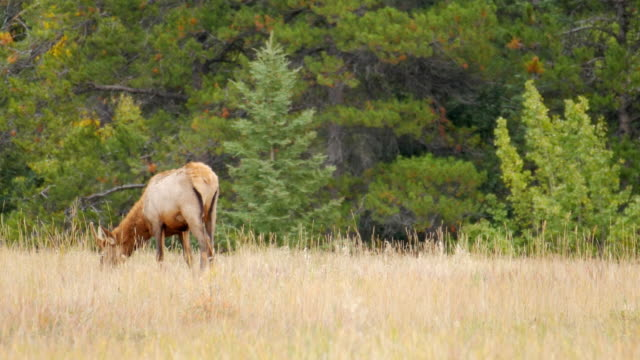 elk on mountain meadow in canada , rocky mountain - foraging stock videos & royalty-free footage