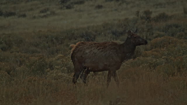 elk profile winter snow flake slow motion - doe stock videos & royalty-free footage
