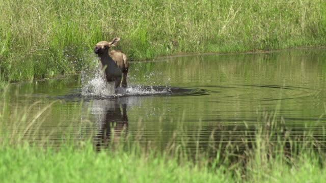 stockvideo's en b-roll-footage met slow motion: elk pup - echte herten