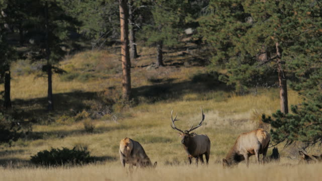 elk: rocky mountain np - boulder stock videos & royalty-free footage