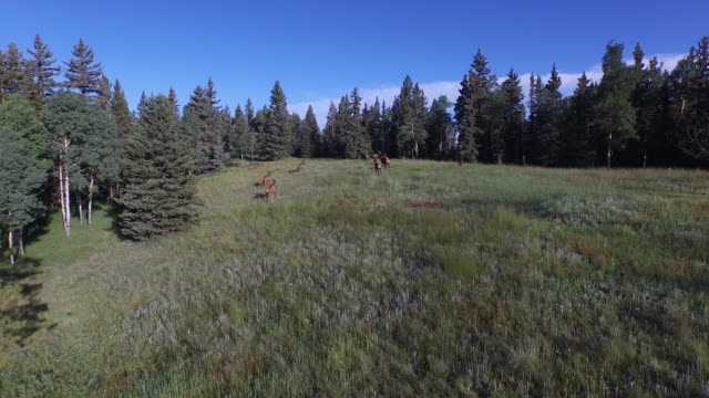 elk run into forest 4k drone tracking aerial view wildlife herd hunting, deer, elk, bison, hawk, buck, cows, bird, buffalo, directors choice, editors choice, magic hour, sun flare, grassland, epic - bird hunting stock videos & royalty-free footage