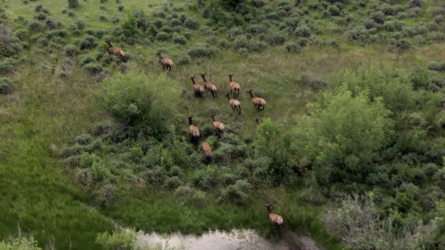 vidéos et rushes de ms aerial ts zo elk running through trees in sun valley area / idaho, united states - troupeau