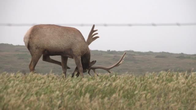 Elk Scratching Itself and Grazing in Open Landscape