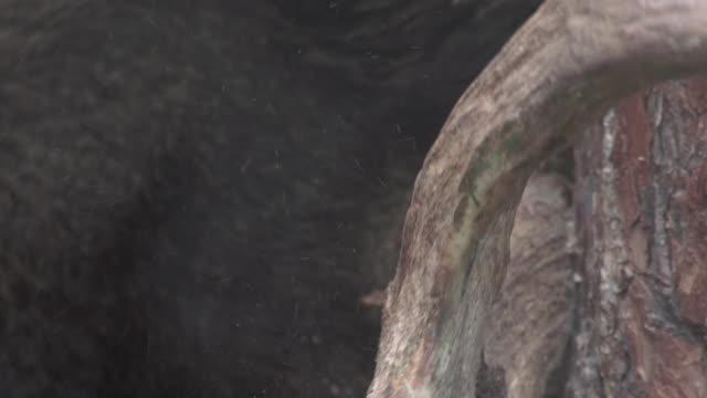 vídeos y material grabado en eventos de stock de elk arañazos - zoología