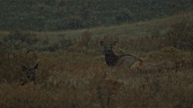 stockvideo's en b-roll-footage met elk slow motion winter snow storm flake - vrouwelijke gestalte