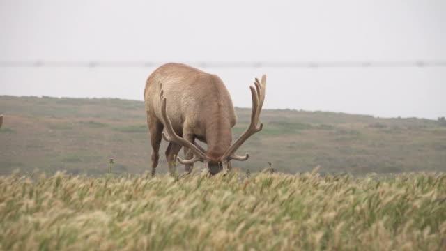 Elk Slowly Grazing Through Majestic Field in Wilderness