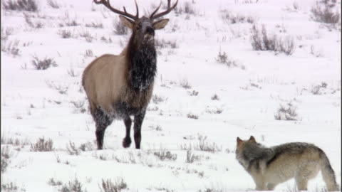 elk stag (cervus canadensis) chases grey wolf (canis lupus), yellowstone, usa - yellowstone national park stock videos & royalty-free footage