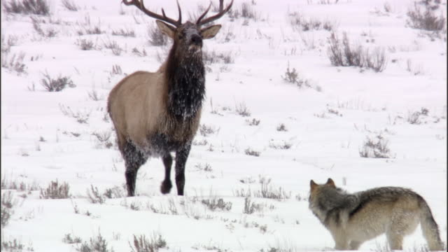 elk stag (cervus canadensis) chases grey wolf (canis lupus), yellowstone, usa - yellowstone nationalpark stock-videos und b-roll-filmmaterial