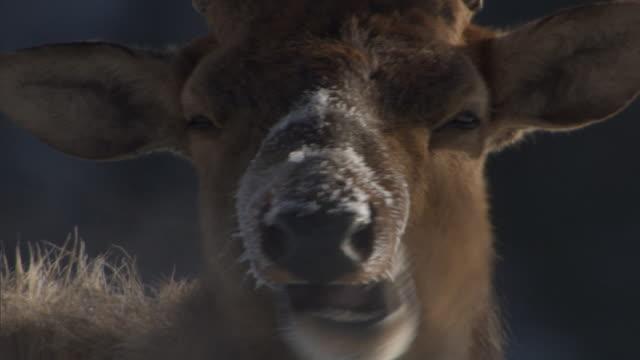 elk (cervus canadensis) stag chews cud, yellowstone, usa - kronhjort bildbanksvideor och videomaterial från bakom kulisserna
