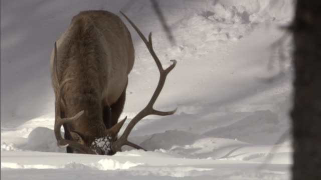 elk (cervus canadensis) stag grazes in snowy forest, yellowstone, usa - yellowstone national park stock videos & royalty-free footage