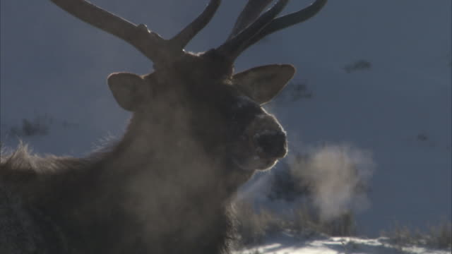 Elk (Cervus canadensis) stag produces steaming breath, Yellowstone, USA