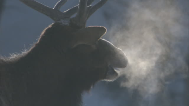 elk (cervus canadensis) stag produces steaming breath, yellowstone, usa - cold temperature stock videos & royalty-free footage