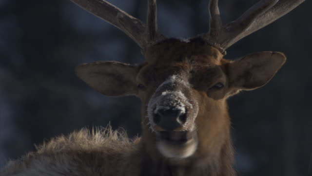 elk (cervus canadensis) stag produces steaming breath, yellowstone, usa - rothirsch stock-videos und b-roll-filmmaterial