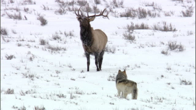 elk stag (cervus canadensis) threatens grey wolf (canis lupus), yellowstone, usa - 2009 stock videos & royalty-free footage
